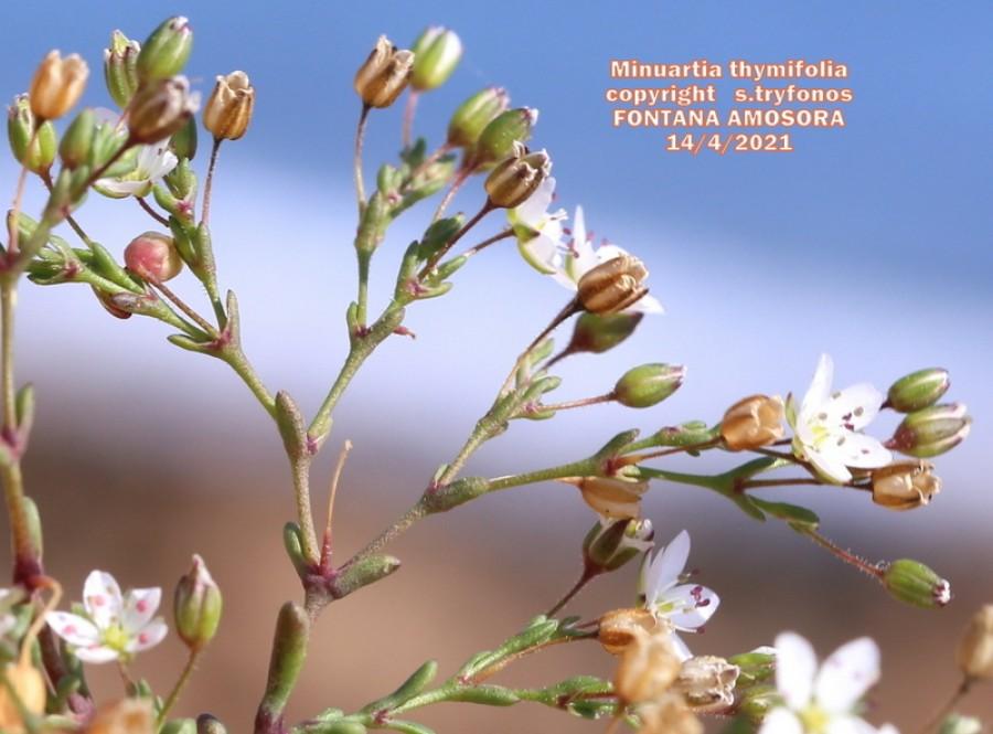 Minuartia thymifolia