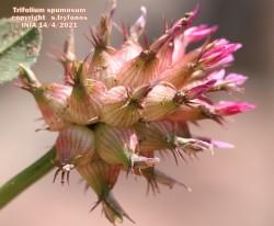 Trifolium spumosum