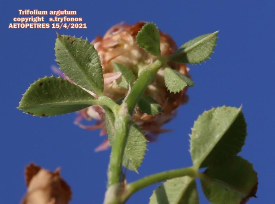 Trifolium argutum