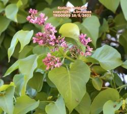 Syringa vulgaris