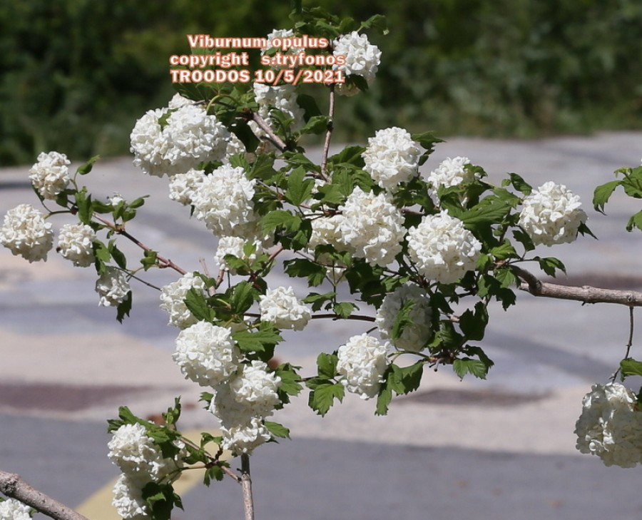 Viburnum opulus