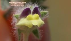 Kickxia elatine ssp crinita