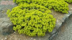 Euphorbia veneris