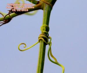 A.leptopus AA
