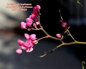 A.leptopus5