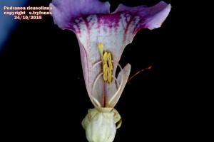 P.ricasoliana B