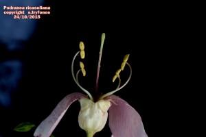 P.ricasoliana E