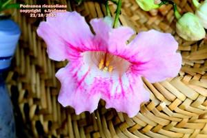 P.ricasoliana6jpg