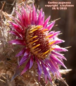 C.pygmaea.jpg5