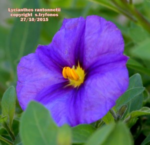 L.rantennottii4