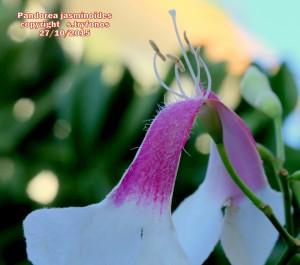 P.jasminoides Y