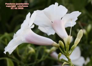 P.jasminoides.jpg 1