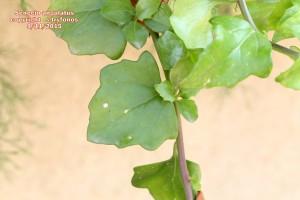Se.angulatus 3jpg
