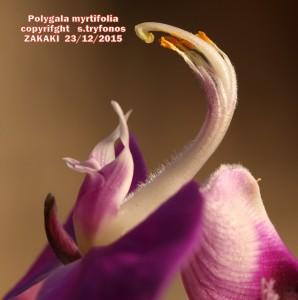 Po.myrtifoliaYpg
