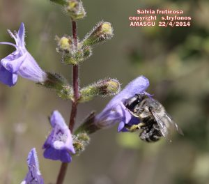 Salvia fruticos  Z pg