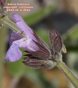Salvia fruticos10pg