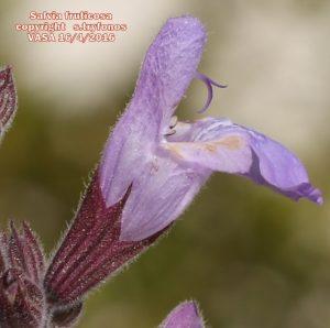 Salvia fruticos11pg
