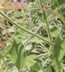 Salvia fruticos9pg