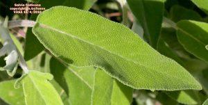 Salvia fruticosa 1