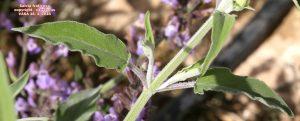 Salvia fruticosa4pg