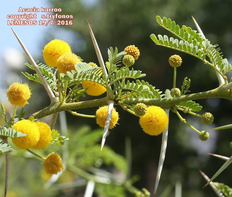 Acacia Karroo 1 Savvas Tryfonos Cyprus Plants Photographysavvas